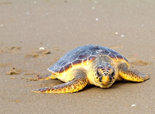 Огромная черепаха на пляже